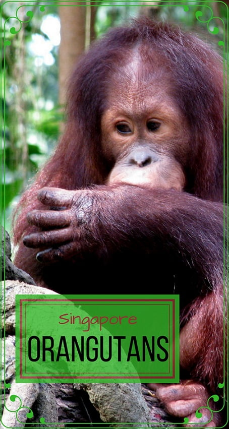 Singapore-travel-orangutan-sanctuary-Glimpses-of-The-World