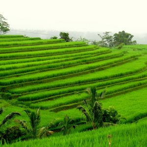 Rice-fields-travel-blog