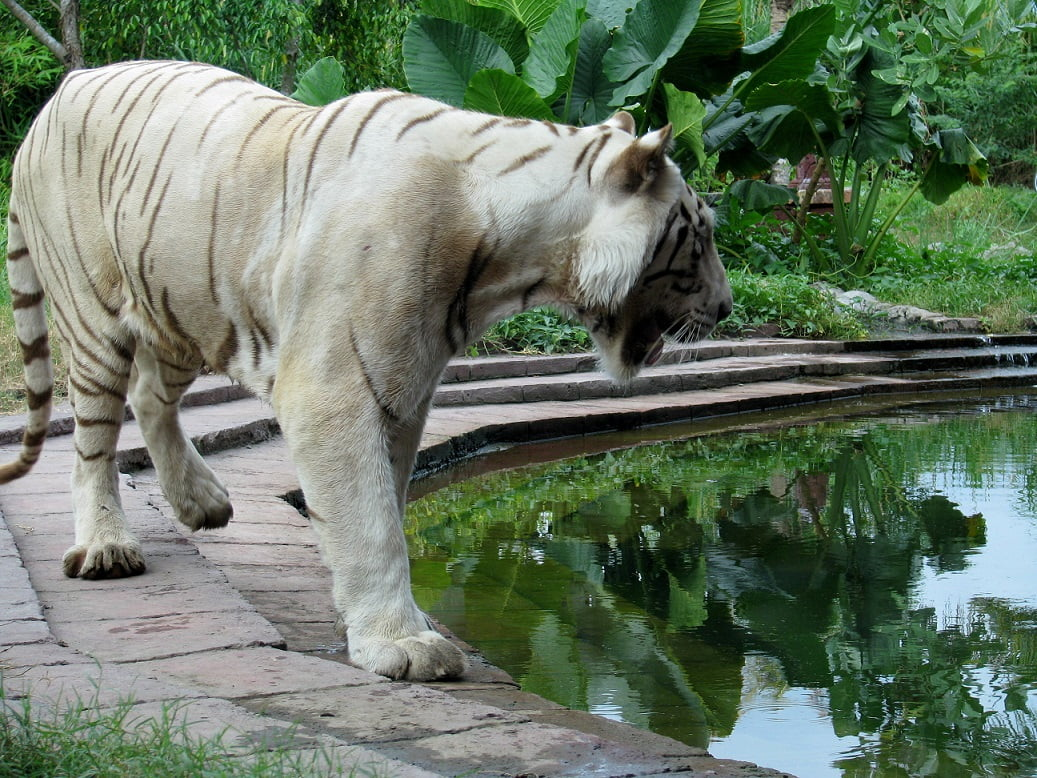 Travel-to-Bali-white-tiger-Glimpses-of-The-World
