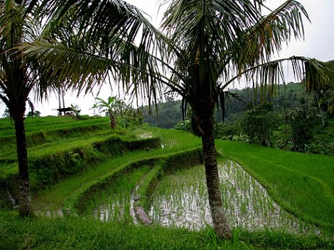 Travel-to-Bali-landscape-rice-fields-Glimpses-of-The-World